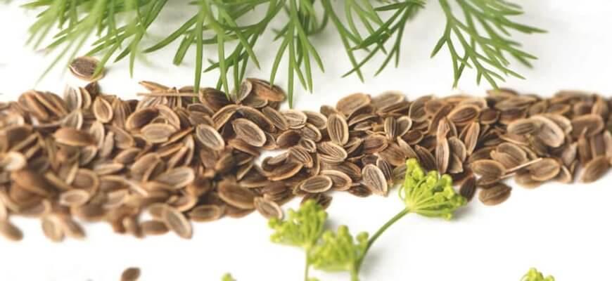 Чем Полезны Семена Укропа для Организма Человека