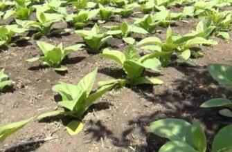 Как выращивать табак курительный на даче