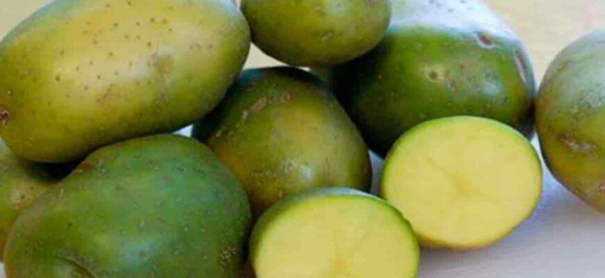 Опасен ли зеленый картофель для здоровья