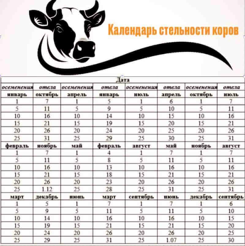 Сколько дней ходит беременная корова