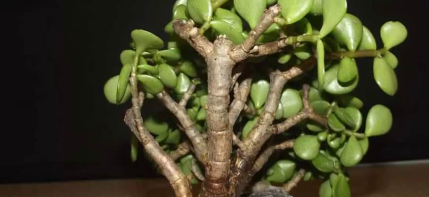 У толстянки опадают листья причина и лечение