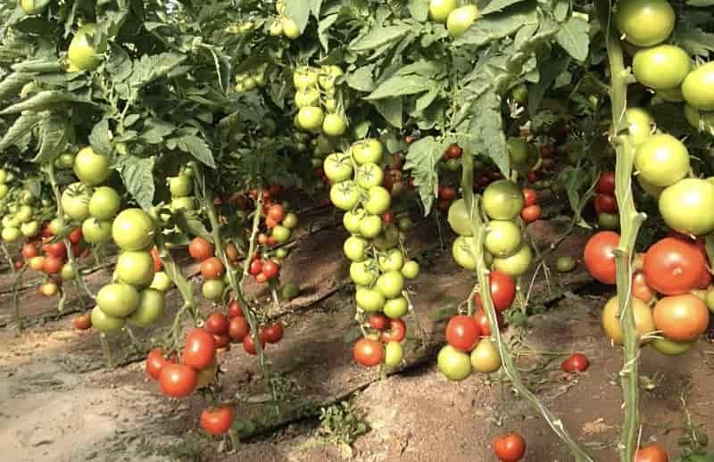 Что значит детерминантный и индетерминантный сорт томатов