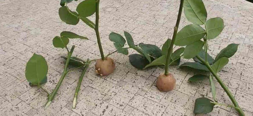 Как Посадить Розу в Картошку