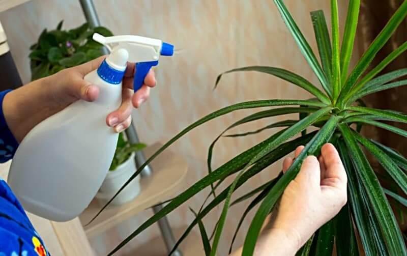 Как поливать драцену