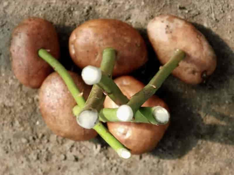 Как посадить розу в картошку в домашних условиях фото