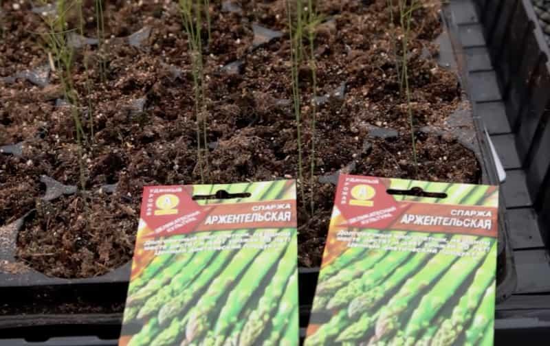 Как посадить спаржу из семян