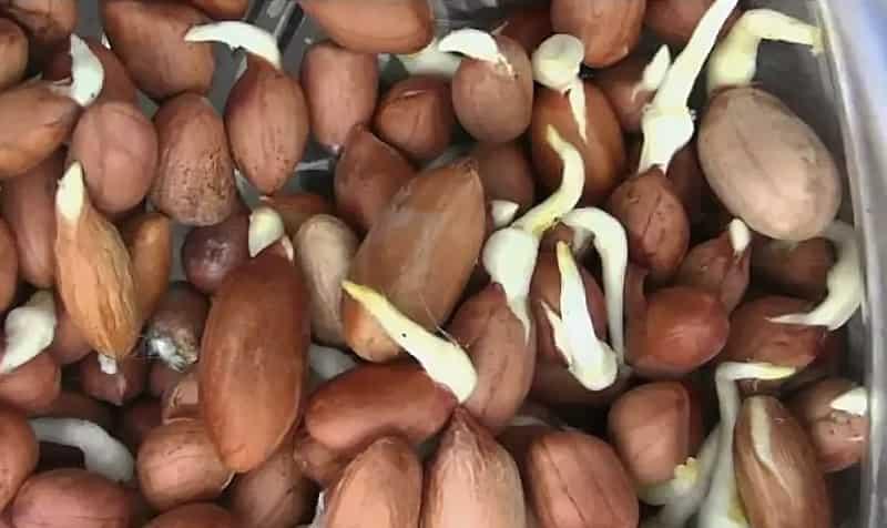Посев арахиса