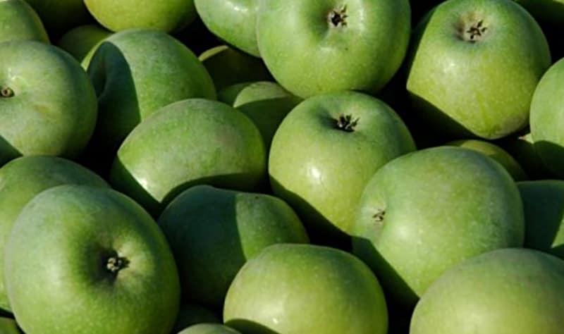 Сорт яблок Симиренко