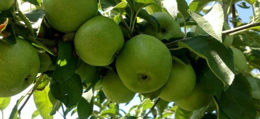 Яблоки сорт Семеренко