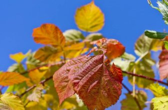 Посадка малины осенью