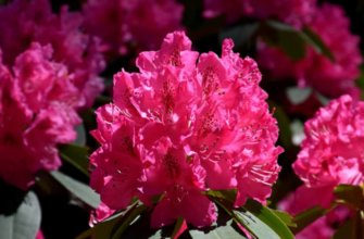 Рододендрон садовый