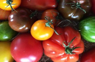 Самые сладкие сорта томатов