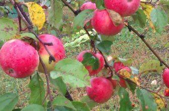 Описание яблони пепин шафранный