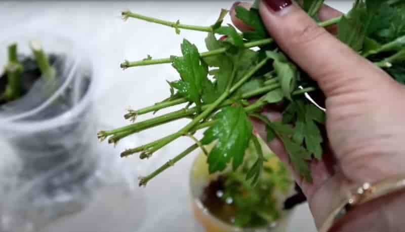 Как укоренить хризантему из букета
