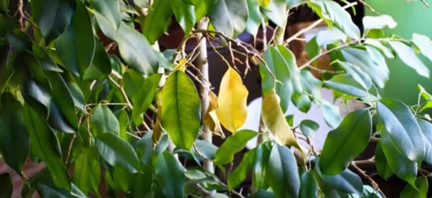 У фикуса опадают листья что делать