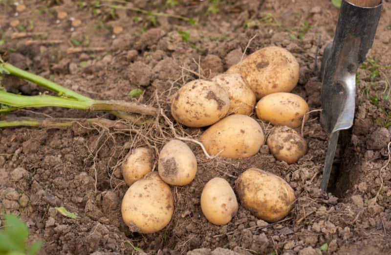 Картошка Гала характеристики сорта
