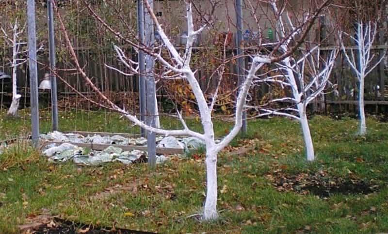 Когда Лучше Белить Деревья в Саду осенью