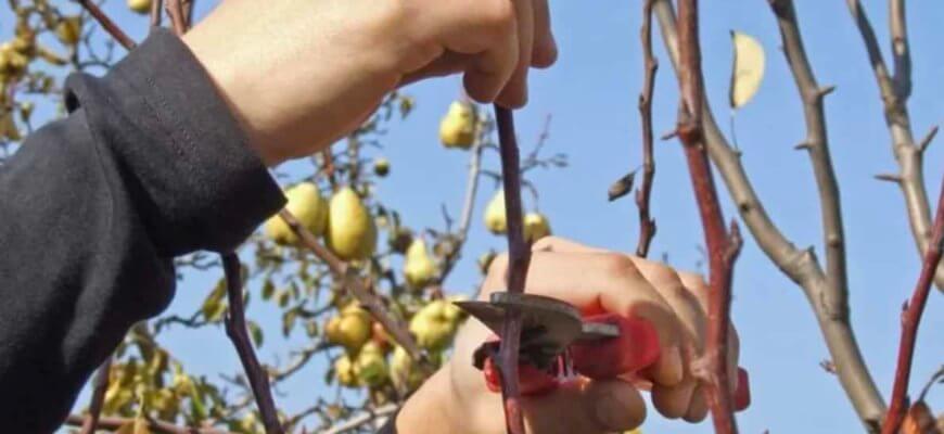 Обрезка груши осенью для новичков