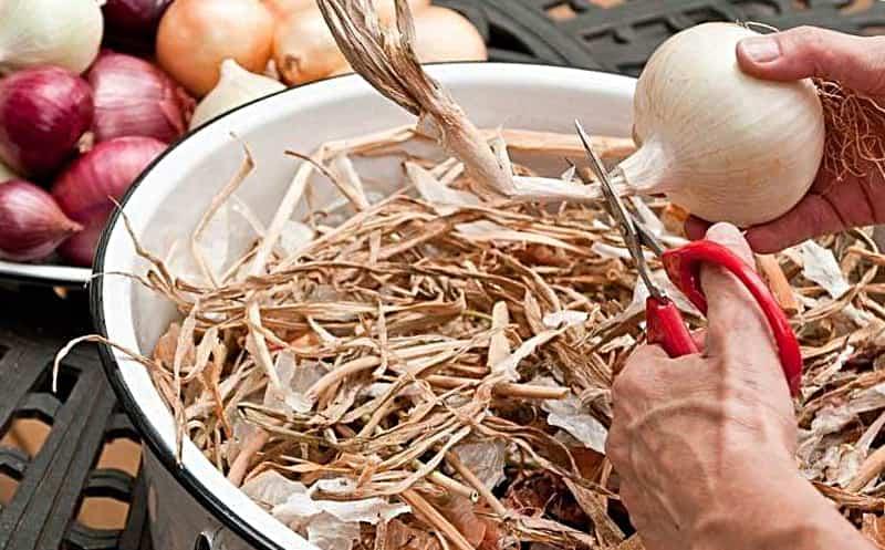 подготовка к хранению лука